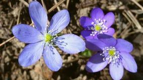 Geranium Palustre in Purple Stock Photo