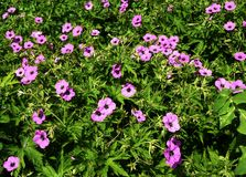 Geranium Patricia, pink wild flowers. Geranium Patricia, a very large plant with large, divided, rich green leaves and bright pink flowers with black centres royalty free stock images