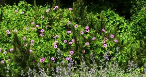 Geranium Patricia, pink wild flowers. Geranium Patricia, a very large plant with large, divided, rich green leaves and bright pink flowers with black centres royalty free stock photography