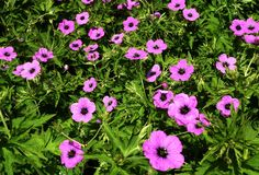 Geranium Patricia, pink wild flowers. Geranium Patricia, a very large plant with large, divided, rich green leaves and bright pink flowers with black centres stock image