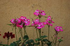 Geranium pelargonium Royalty Free Stock Photos