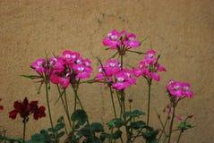 Geranium pelargonium. Top view of purple  geranium Royalty Free Stock Photos