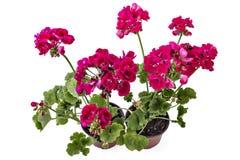 Geranium Pelargonium with buds royalty free stock photography