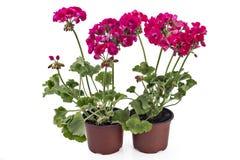 Geranium Pelargonium with buds royalty free stock photos