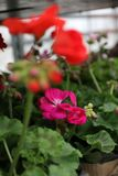 geranium Pelargonium colorido com as folhas verdes em uns potenciômetros para a venda Teste padrão floral Fundo da flor fotos de stock
