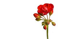 Geranium (Pelargonium) Flower. Botanical - Flower & Plants - red geranium inflorescence isolated on white background Royalty Free Stock Photography
