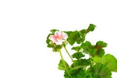 Geranium Pelargonium Flowers isolated on white. Geranium Pelargonium Flowers isolated on white background stock image