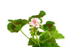 Geranium Pelargonium Flowers isolated on white. Geranium Pelargonium Flowers isolated on white background royalty free stock photos