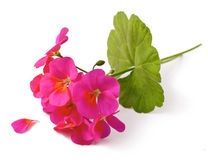 Geranium. Pelargonium Flowers on white background stock image