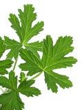 Geranium (Pelargonium graveolens). Leaf of the Geranium on a white background royalty free stock photography