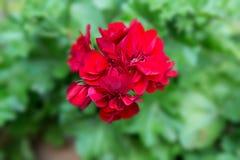 Geranium, Pelargonium Pelargonium zonale hybrid. Red flowering plant Royalty Free Stock Photography