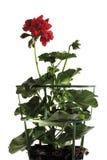 Geranium, Pelargonium peltatum, close-up Royalty Free Stock Photography