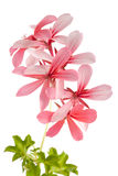 Geranium (Pelargonium peltatum) isolated on white Stock Photos