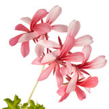 Geranium (Pelargonium peltatum) isolated on white. Ivy-leaf geranium (Pelargonium peltatum) isolated on white background Stock Photography