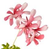 Geranium (Pelargonium peltatum) isolated on white Stock Photography