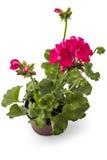 Geranium Pelargonium royalty free stock image