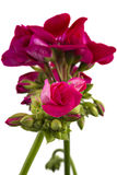 Geranium Pelargonium stock photo