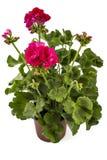 Geranium Pelargonium. Red and pink garden Geranium Pelargonium with buds isolated on white background, garden geranium flowers in flowerpot stock image