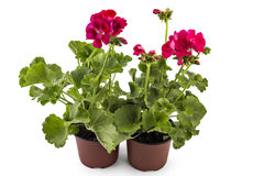 Geranium Pelargonium stock photo