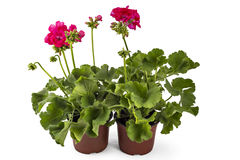 Geranium Pelargonium Stock Images