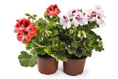 Geranium Pelargonium. Red and white English geranium with buds in flowerpot isolated on white background stock photos