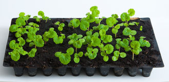 Geranium/ pelargonium Seedlings royalty free stock photo