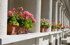 Geranium perspective Royalty Free Stock Images