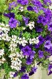 Geranium and petunia. Blooming geranium and petunia, closeup stock photography