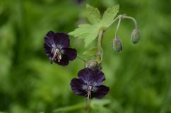 Geranium phaeum. In Carpathian mountains in Ukraine. Was found by chance. Among wild nature near river royalty free stock images