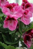 Geranium. A pink geranium blossomed into the garden royalty free stock images