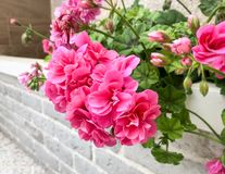 Geranium pink flowers. Geranium plant rose color flower in blossom outdoor garden stock photography