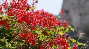 Geranium plant closeup. Close view of a colorful geranium bush stock photo