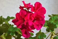 Geranium plant flowers are correct, large and beautiful. Geranium perennial plant, the right flowers, large and beautiful five-leaves from open cups, various stock photo