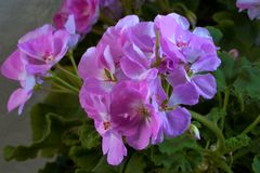 Geranium plant flowers are correct, large and beautiful. Geranium perennial plant, the right flowers, large and beautiful five-leaves from open cups, various stock images