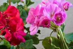 Geranium plant flowers are correct, large and beautiful stock photos