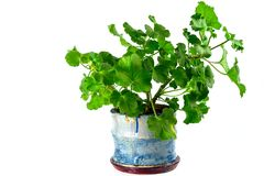 A geranium plant isolated. A geranium plant in the hand painted pot isolated on a white background stock image