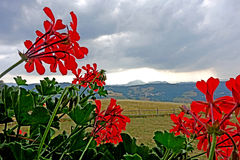 A geranium plant with its red flowers contrasts with the arrival of a thunderstorm. Black and threatening clouds in a gray sky announce bad weather coming in.in royalty free stock photography