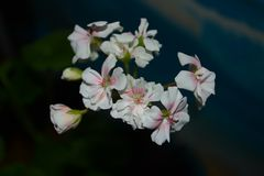 Geranium. Plant pot stock photography