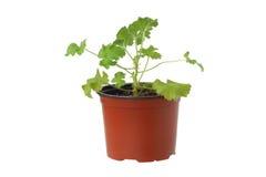 Geranium plant in a pot. Stock Image
