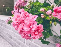 Geranium pink flowers. Geranium plant rose color flower in blossom outdoor garden royalty free stock image