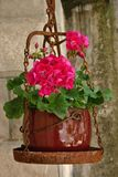 Geranium plant on a vintage scales Stock Photography