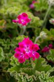 Geranium Plants. A vertical photograph of pink geranium plants, taken with a shallow depth of field royalty free stock photos