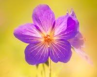 Geranium Platypetalum Stock Afbeeldingen