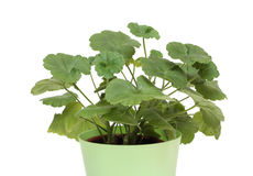 Geranium in a pot. Isolated on white royalty free stock photo