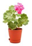 Geranium in Pot Stock Photography