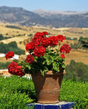 Geranium in a pot Stock Photo