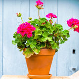 Geranium in the pot. Near house stock photos