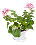 Geranium in pot. Close-up geranium in pot, isolated on white royalty free stock photos