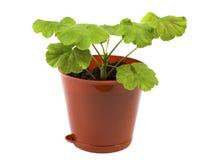 Geranium in a pot Stock Photography