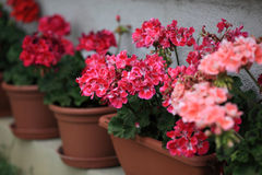 Geranium in pots. Geranium flowers in the pots royalty free stock image
